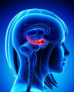 système limbique_250x308